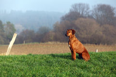 A Rhodesian Ridgeback. A sitting gundog (bitch) in beautiful autumn landscpape Royalty Free Stock Photos