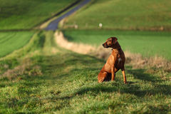 A Rhodesian Ridgeback. A sitting gundog (bitch) in beautiful landscape stock images