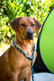 Rhodesian ridgeback. Sitting in the shade of trees at the dog show in Sopot FCI royalty free stock image