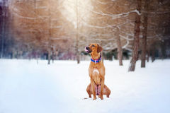 Rhodesian Ridgeback sitting on winter background Royalty Free Stock Images