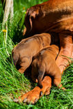 Rhodesian Ridgeback sleeping with her puppies on grass. Rhodesian Ridgeback dog lying with her two 3-week-old puppies on the green grass in the garden Stock Image