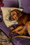 Rhodesian Ridgeback sleeping with its head on a pillow. Rhodesian Ridgeback sleeping on sofa, its head on a pillow Stock Image