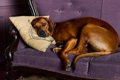 Rhodesian Ridgeback sleeping wiyh its head on a pillow. Rhodesian Ridgeback sleeping on a sofa, its head on a pillow Stock Images