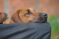 Rhodesian Ridgeback Snoozing Stock Photo