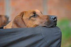 Rhodesian Ridgeback snoozing Stock Photo