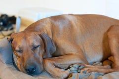 Rhodesian ridgeback sover på hans säng Arkivfoto