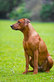 Rhodesian ridgeback in a spring flowers field Stock Images