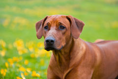 Rhodesian ridgeback in a spring flowers field Stock Photo