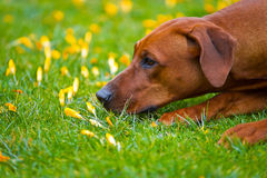 Rhodesian ridgeback in a spring flowers field Royalty Free Stock Photo