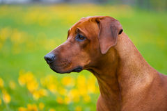 Rhodesian ridgeback in a spring flowers field Stock Photos