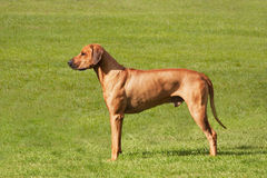 Rhodesian Ridgeback standing in a field Royalty Free Stock Images
