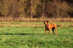 A Rhodesian Ridgeback. A standing gundog (bitch) in autumn landscpape Royalty Free Stock Photography