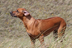 Rhodesian Ridgeback standing in the wind Stock Photography