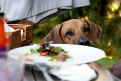 Dog staring at a plate Stock Photography