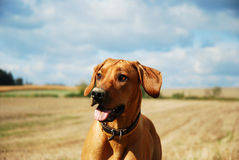 Rhodesian ridgeback summer portrait. Rhodesian ridgeback in the summer nature Royalty Free Stock Photo