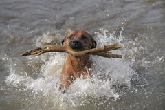 Rhodesian Ridgeback swimming. Portrait of an Rhodesian Ridgeback male playing with a big stick Royalty Free Stock Images
