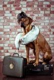 Rhodesian Ridgeback traveller dressed in fur scarf with suitcase Stock Photos