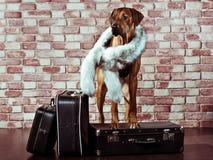 Rhodesian Ridgeback traveller dressed in fur scarf with suitcase. Rhodesian Ridgeback lady-traveller dressed in a fur scarf standing behind its suitcases Royalty Free Stock Images