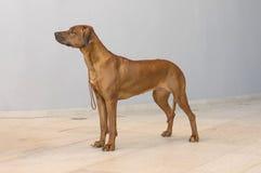 Rhodesian Ridgeback un chien de chasse dans un plan rapproché Photos stock