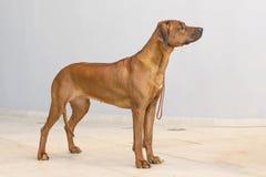 Rhodesian Ridgeback un chien de chasse dans un plan rapproché Images stock