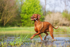 Rhodesian ridgeback walking in the water. With a stick in the snout royalty free stock photography