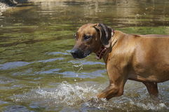 Rhodesian Ridgeback walks on water Stock Photo