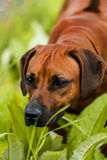Rhodesian Ridgeback watching and smelling something in the grass. Close-up portrait of Rhodesian Ridgeback watching and smelling something in the grass stock photos