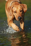 Rhodesian ridgeback in water. Rhodesian ridgeback walking in the river Royalty Free Stock Images