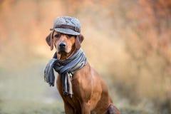 Rhodesian Ridgeback autumn portrait stock images