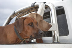 Rhodesian Ridgeback and Weimaraner Royalty Free Stock Photos
