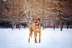 Rhodesian Ridgeback on winter background Royalty Free Stock Image