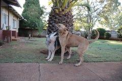 Rhodesian Ridgeback y sesi?n del juego de Husky Enjoying A imágenes de archivo libres de regalías