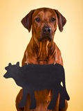 Rhodesian Ridgeback on a yellow background with  blank chalkboar. Rhodesian Ridgeback sitting on a yellow background with a blank chalkboard that can be used to Royalty Free Stock Photos