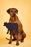 Rhodesian Ridgeback on a yellow background with  blank chalkboard. Rhodesian Ridgeback sitting on a yellow background with a blank chalkboard that can be used to Stock Images