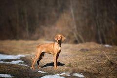 Vizsla outdoor portrait Stock Image