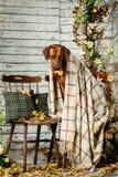 Rhodesian Ridgeback z szkocką kratą w jesieni dekoracjach Fotografia Royalty Free