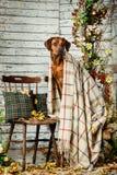 Rhodesian Ridgeback z szkocką kratą w jesieni dekoracjach Obraz Stock