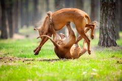 Rhodesian-ridgebacks Lizenzfreies Stockfoto