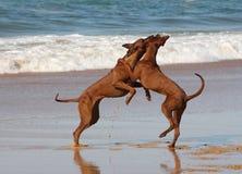 Rhodesian Ridgebacks auf dem Strand Lizenzfreie Stockbilder