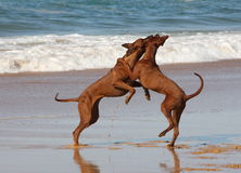 Rhodesian Ridgebacks on the beach Royalty Free Stock Images