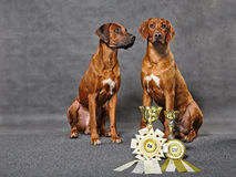 Rhodesian ridgebacks Stock Photo