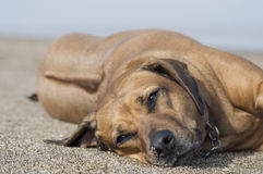 Rhodesian Ridgebacks Love The Beach stock images
