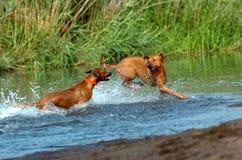 Rhodesian ridgebacks playing. Two Rhodesian ridgebacks playing and running together through the water while splashing with power and speed stock image