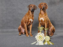 Rhodesian ridgebacks with prizes Royalty Free Stock Photo