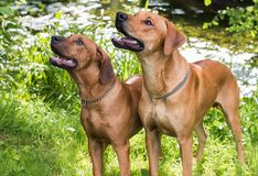 Rhodesian ridgebacks by the river. Two rhodesian ridgeback dogs by the riverside royalty free stock photography