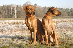 Rhodesian ridgebacks in snow Stock Photo