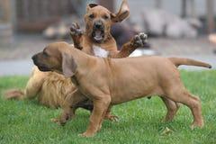 Rhodesian Ridgebback puppies. Closeup of Rhodesian ridgeback puppies playing on grass Stock Photo