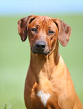 Rhodesian rigdeback dog Royalty Free Stock Photography