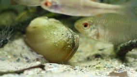 Rhodeus amarus,欧洲bitterling,产生在珠蚌类pictorum双壳软体动物的普遍野生小淡水鱼 影视素材