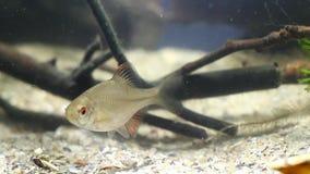 Rhodeus amarus, European bitterling, wide-spread wild small freshwater juvenile fish show typical behavior in river biotope aqua. Rhodeus amarus, European stock footage